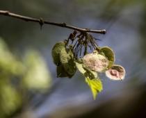 Plante_Ulmus laevis_Samare