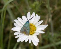 Insecte_Adscita sp