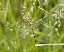 Insecte_Gomphus-pulchellus