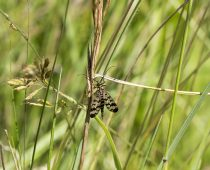 Insecte_Panorpa-vulgaris-(2)