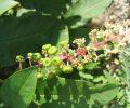 Espèces végétales invasives