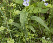 Plante_Viola-elatior-(5)