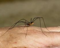 Arachnide_Phalangium opilio