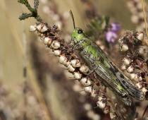 Insecte_Ailopus thalassinus (2)