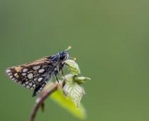 Insecte_Carterocephalus palaemon