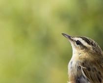 Oiseau_Phragmite des joncs