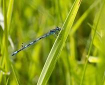 Insecte_Coenagrion-mercuriale-(2)