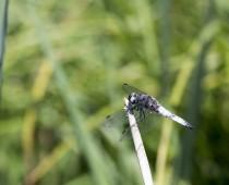 Insecte_Libellula-fulva-(4)