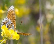Insecte_Melitaea-cinxia-(2)