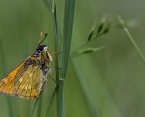 Insecte_Ochlodes-sylvanus-(2)