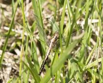 Insecte_Orthetrum-albistylum