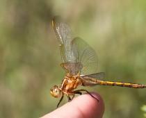 Insecte_Orthetrum-coerulescens