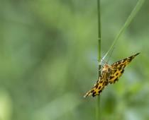 Insecte_Pseudopanthera-macularia