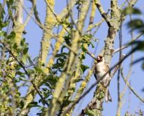 Oiseau_Chardonneret-elegant-(1)