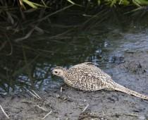 Oiseau_Faisan-de-colchide