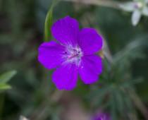 Plante_Geranium-sanguineum