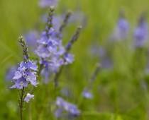 Plante_Veronica-austriaca-(6)