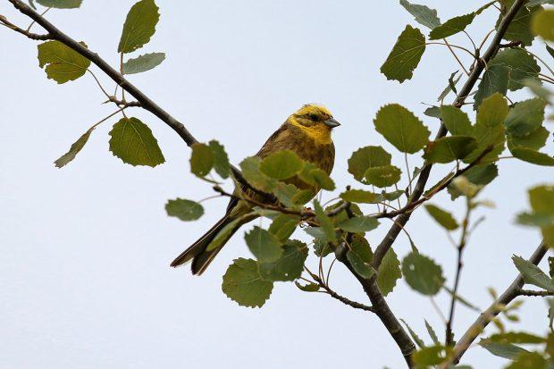Le déclin de nos oiseaux
