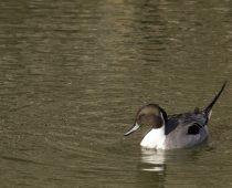 Oiseaux_Canard siffleur