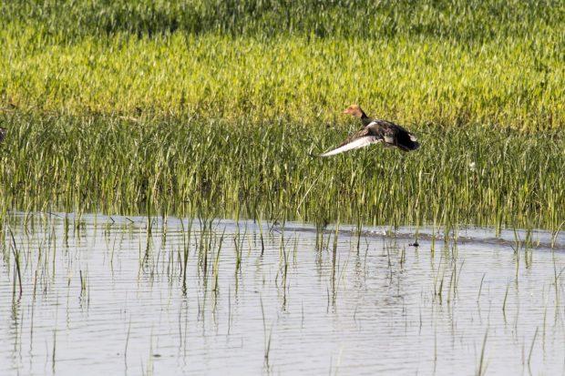 observations des oiseaux de la Bassée