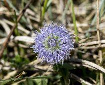 Plante_Globularia vulgaris