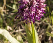 Plante_Orchis simia x O purpurea