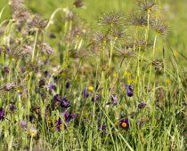 Plante_Pulsatilla vulgaris (3)