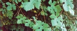 Plaquette Vigne sauvage
